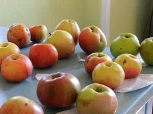jabolka z Volčjega Potoka